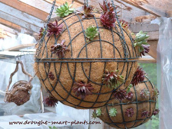 Garden Succulent Balls
